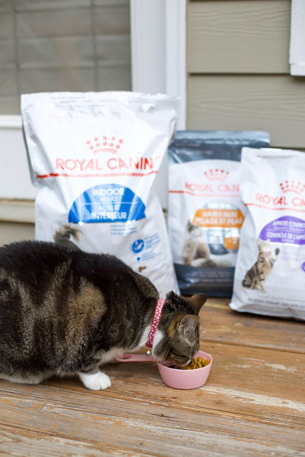 Kitty cat eating Royal canin cat food